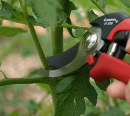 Pruning Tomatoes Med